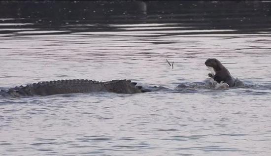 视频|6只萌水獭「湿地对决」巨鳄 结局反转网友惊