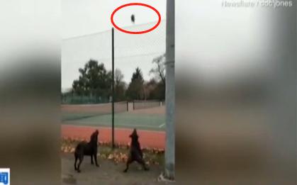 视频:遭两犬追击 小松鼠从天而降敏捷上树惊险躲开