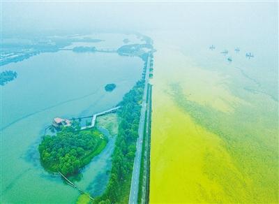 太湖十几公里湖面上,蓝藻一望无际。