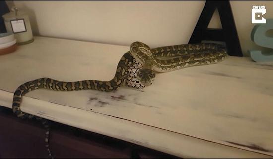 视频:女孩半夜惊醒竟与蟒蛇对视 虎视眈眈吐信示威
