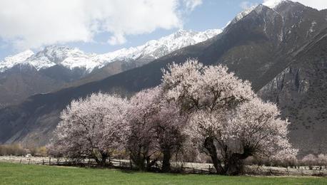 雪域桃花始盛开