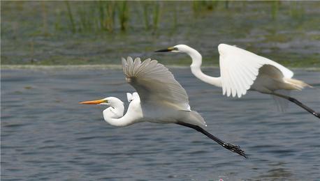 夏日鸟儿欢 白沙河变身候鸟乐园