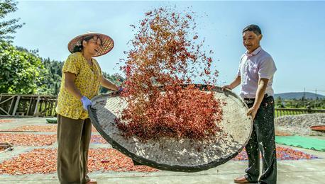 一大波红辣椒正在靠近!江西武宁2000亩高山红辣椒丰收