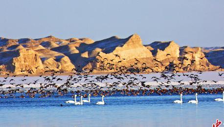 壮观!柴达木盆地出现上千只赤嘴潜鸭群