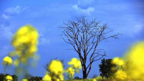 鸟瞰金色花海 成都金堂万亩油菜花开