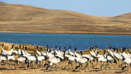 云南大山包自然保护区越冬黑颈鹤数量创新高