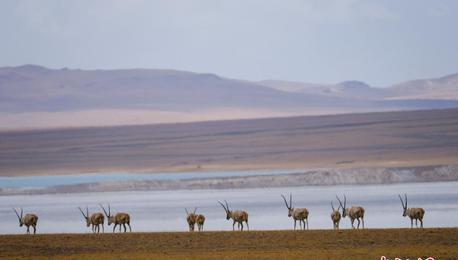 西藏羌塘草原藏羚羊、藏野驴等成群觅食