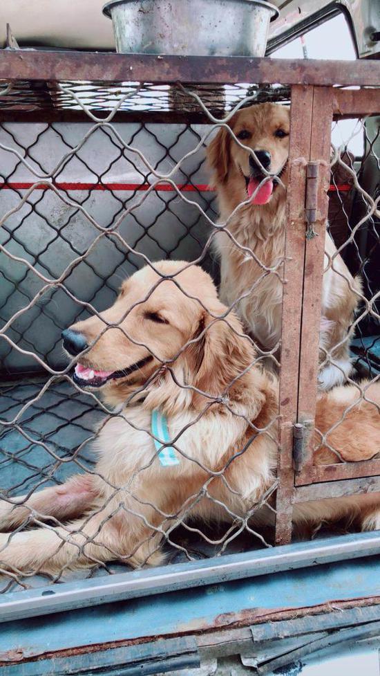 店门口摆放的铁笼关着两条金毛犬。白女士供图