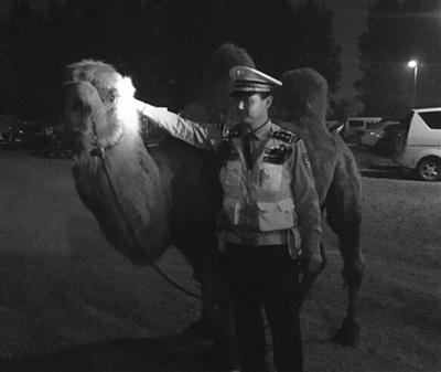 警方在张某货车里发现的骆驼。