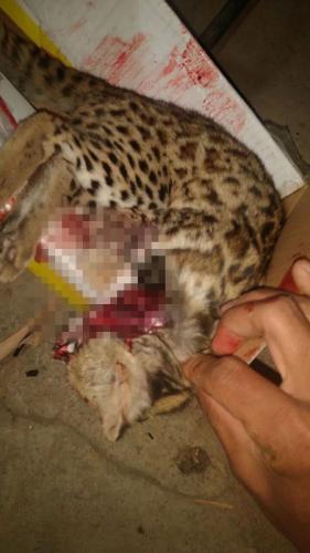 男子朋友圈内疑似野生动物豹猫尸体图片