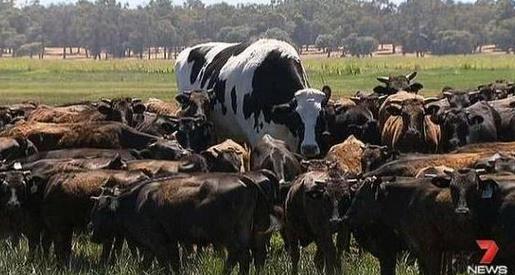 视频:澳大利亚7岁奶牛身高2米 因体型巨大免于被