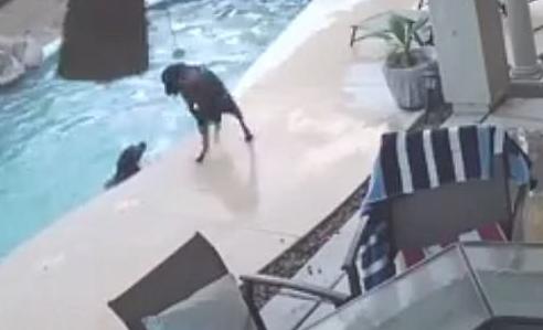 视频:犬类英雄!美狗狗下水勇救不会游泳同伴
