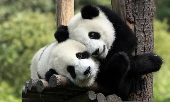3月26日,甘肃生态建设和环境保护协调推进领导小组召开会议,审议了《大熊猫国家公园白水江片区范围和功能区总体勘界方案》。