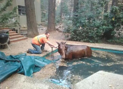 美国加州大火动物遭遗弃:马跳入游泳池避火(图)