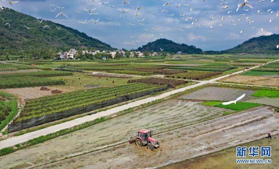 海南省陵水黎族自治县光坡镇的农夫在田间劳作(4月5日摄,无人机照片)。新华社记者 郭程 摄