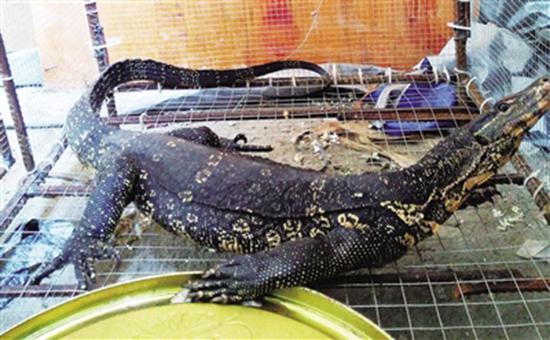 巨蜥被送到保护区放生 南国都市报 图