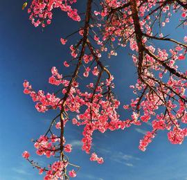 美醉了!云南大理的冬樱花让人忘掉寒冬