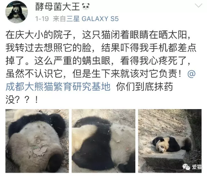 微博网友@酵母菌大王 曝光成都大熊猫繁育研究基地某只大熊猫生了严重的螨虫眼