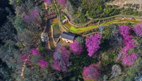 哈尼山寨樱花盛开 与梯田相映成趣