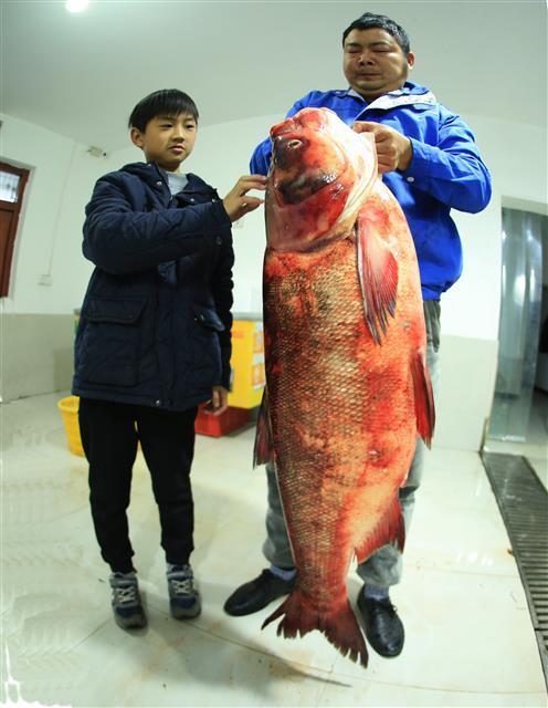 大鳙鱼有130厘米长 视界网 裴建丹 摄