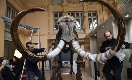 这具猛犸象骨架高3米多,附有两根象牙。(图片来源:法新社)