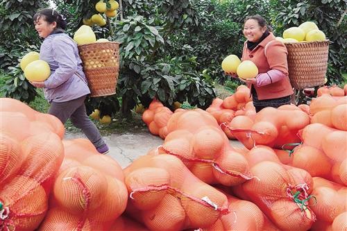 1月4日,贵州铜仁市松桃苗族自治县太平营街道红肉蜜柚基地,果农在采收蜜柚,供应市场。 龙元彬摄