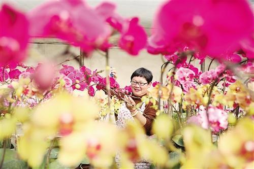1月11日,安徽淮北市烈山区洪庄生态园蝴蝶兰基地,近30个品种20多万株蝴蝶兰竞相绽放,迎来销售旺季。 万善朝摄