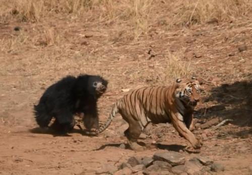 印度母熊保护小熊 勇战猛虎将其逼退[图]