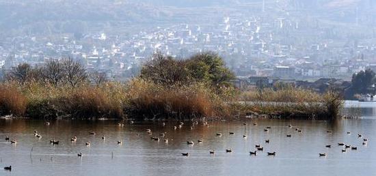 2017年12月28日,云南大理白族自治州洱源县,成群的赤麻鸭栖息在西湖国家湿地公园湖面。视觉中国 图