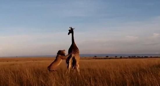 长颈鹿妈妈不慎将幼仔绊倒 使其成为狮口大餐