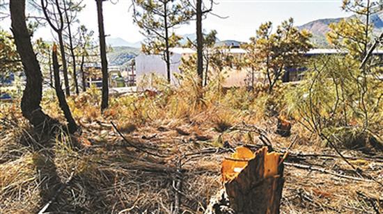 完全枯死的松树部分已被砍伐