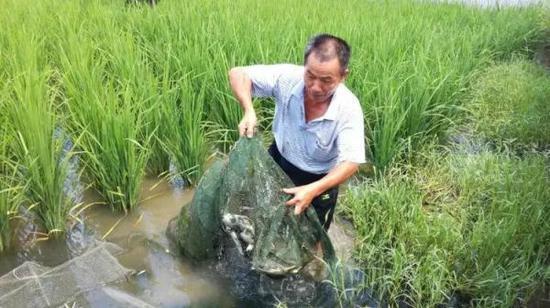 孔蒲中收获稻田中的甲鱼 受访者供图