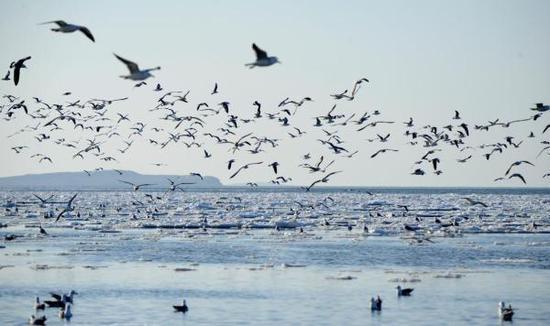 辽宁大连,大批海鸥在渤海大连夏家河子海域融化的海冰周围栖息觅食。 东方IC 资料图