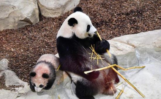 """首只出生在法國的大熊貓寶寶""""圓夢""""13日在媽媽""""歡歡""""的帶領下正式與公衆見面。微博 圖"""