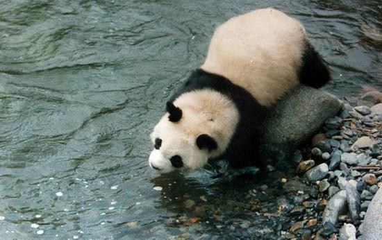 甘肃省陇南市白水江保护区的大熊猫。视觉中国 资料图