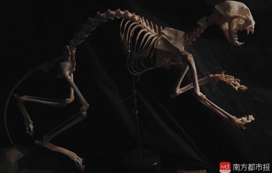 赵柒做的猫骨架标本