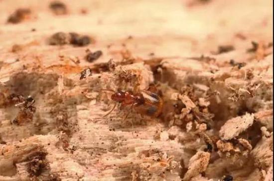 新种双斑粗角步甲正在朽木表面散步