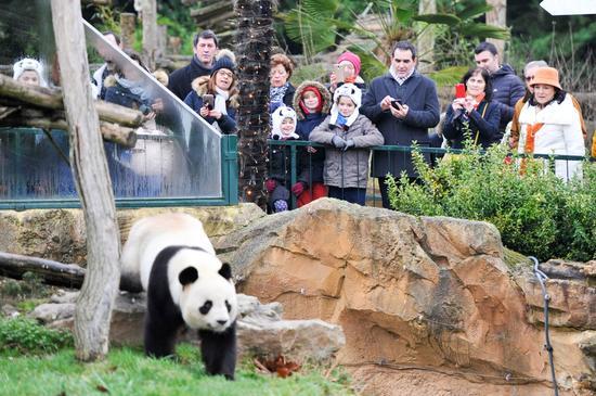 """1月13日,在法国圣艾尼昂市博瓦勒野生动物园,游客观看大熊猫宝宝""""圆梦""""的父亲――大熊猫""""圆仔""""。(新华社记者陈益宸摄)"""
