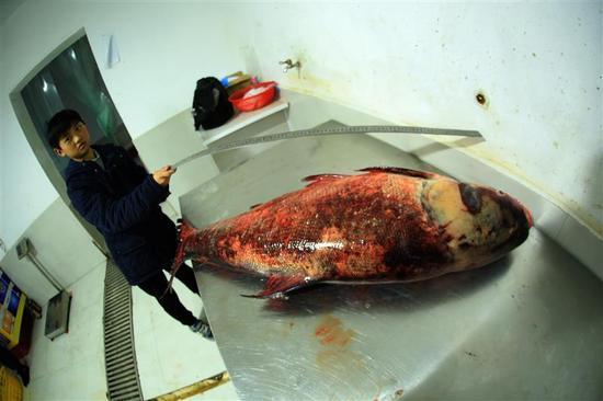 小朋友也好奇地拿来尺子测量大鳙鱼的长度 视界网 裴建丹 摄