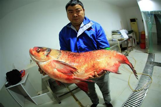 一个人抱起65斤的大鳙鱼十分吃力 视界网 裴建丹 摄