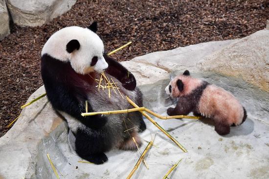 """这是1月13日在法国圣艾尼昂市博瓦勒野生动物园拍摄的大熊猫宝宝""""圆梦""""及其母亲""""欢欢""""。(新华社记者陈益宸摄)"""