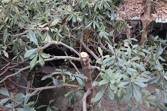 约20年树龄的枇杷树被砍后的样子。