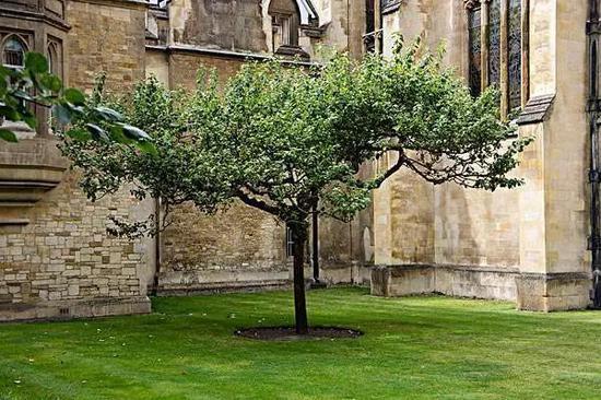 剑桥大学的牛顿苹果树