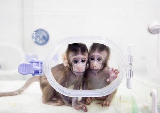 """澳门巴黎人娱乐场网址:我国克隆猴""""家庭""""将迎来第三名成员梦梦"""