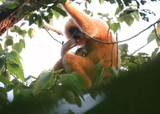 海南长臂猿