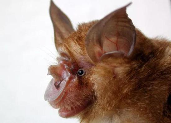 研究人员分析了在菊头蝠中传播的SARS病毒毒株,上图所示为来自云南省一洞穴内的中华菊头蝠。 图片来源:张礼标/广东省生物资源应用研究所