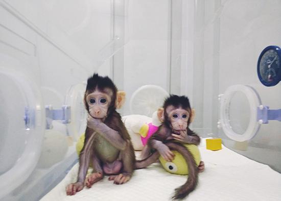 """克隆猴""""中中""""和妹妹""""华华""""。东方IC 图"""