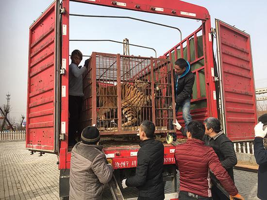 李荣庆带领大家卸载卡车上的动物。