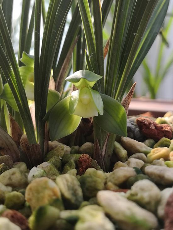"""开花的""""赤壳荷素""""。 本文图均为杭州花圃供图"""
