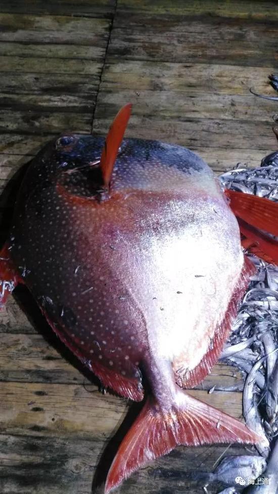 """渔民捕获200斤""""月亮鱼"""" 拍16次3890元卖出(图)"""